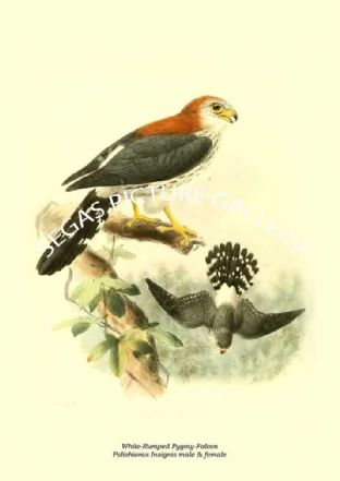White-Rumped Pygmy-Falcon - Poliohierax Insignis male & female